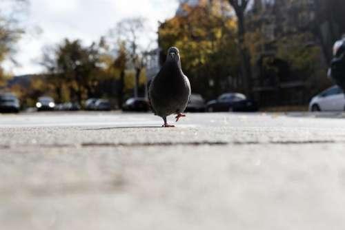 pigeon bird walking street sidewalk