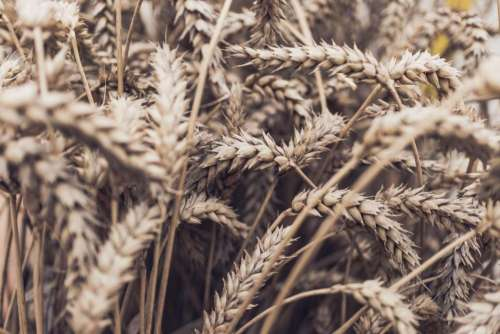 grass wheat cereal grain nutrition