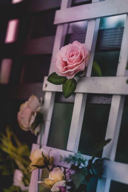 roses flower bloom petal leaves