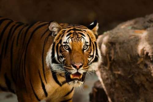 tiger wildlife animal mammal forest