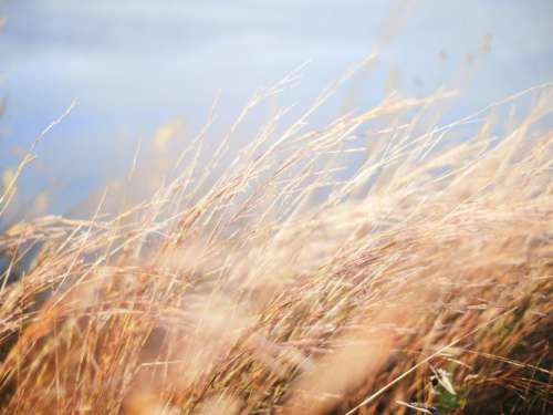 nature wheat field grain grass