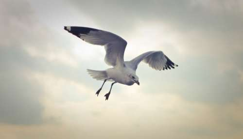 flying seagull bird nature animals