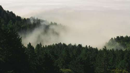 nature forests trees pine fog