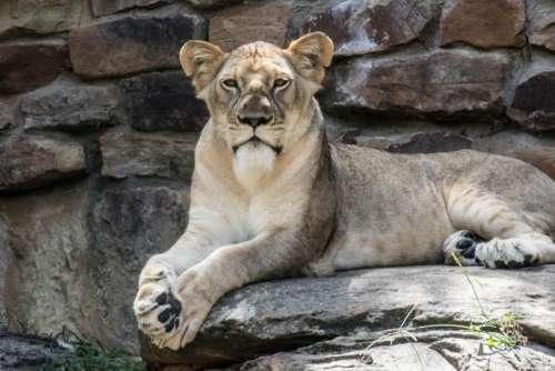 lion animal zoo forest wildlife