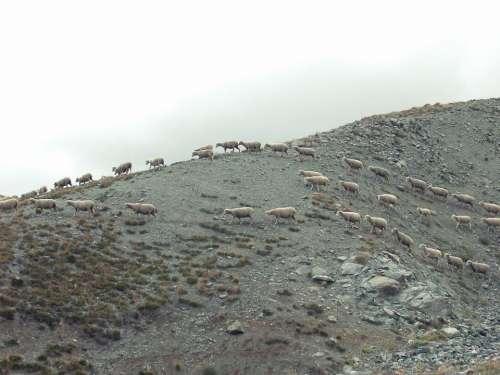 wild sheep animals mountain rocks