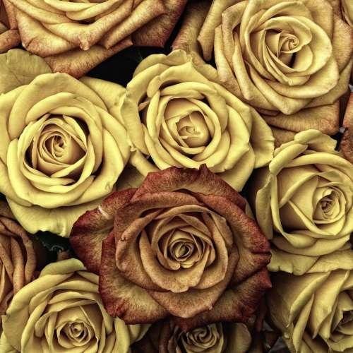 roses flower bloom petal nature
