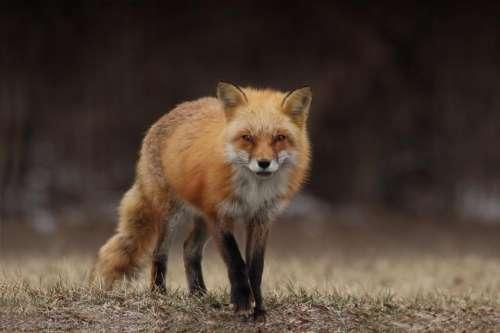 grass blur wildlife animal fox