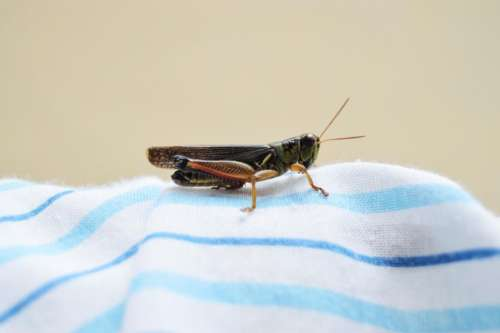 grasshopper cricket insect nature outdoor