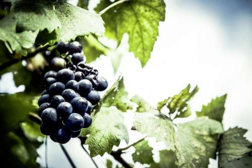 food fruits grapes leaves vine