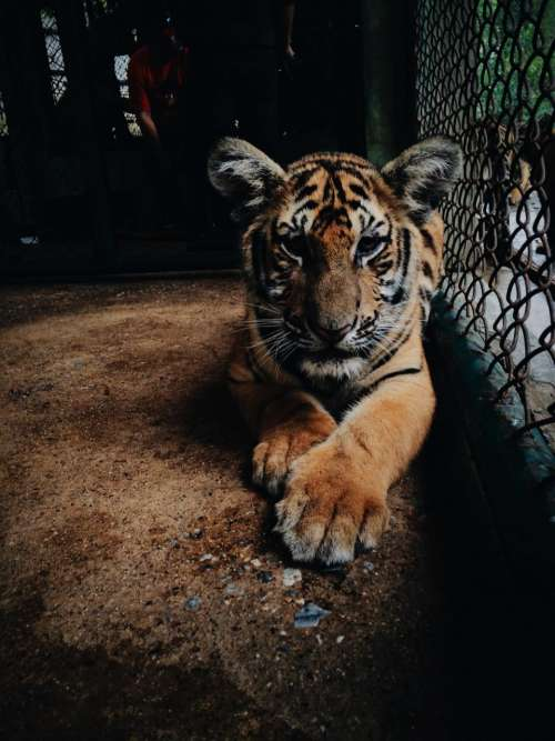 nature wildlife animal tiger paws