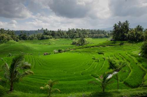 rice paddy field green agriculture bali landscape