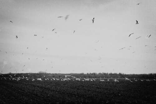 birds flying fields rural countryside