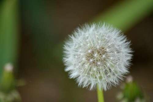 dandelion flower plant nature outdoor