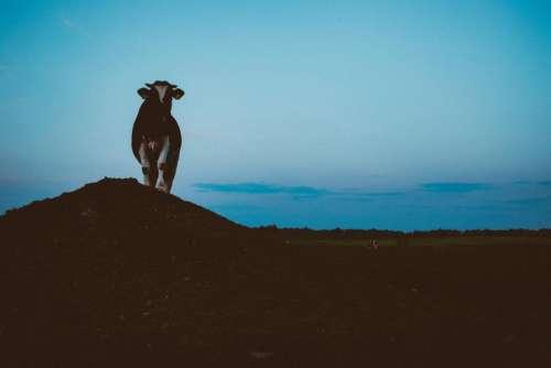 cow animal farm cattle hill