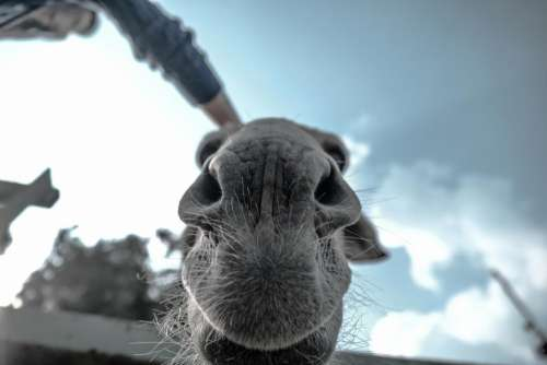 animals mammals camel snout whiskers