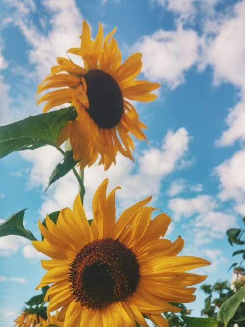 sunflower yellow petal field farm