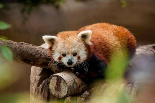 red panda animal wildlife tree