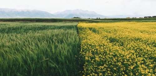 green grass crop flower yellow