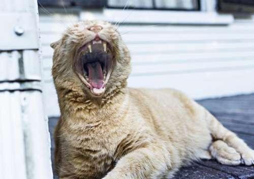 tiger cat feline whiskers teeth