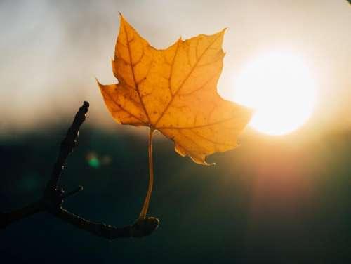 maple leaf sunshine sunset nature