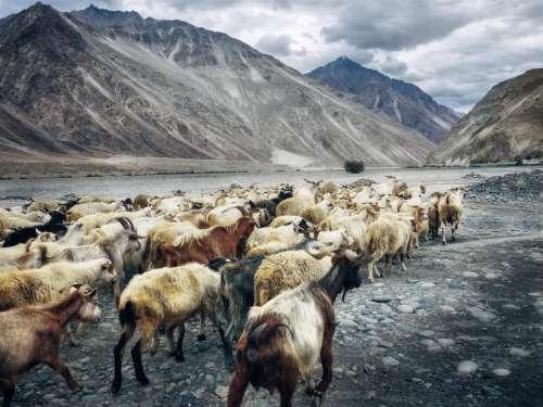 goat animal mountain highland landscape