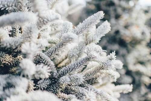 tree nature pine winter white