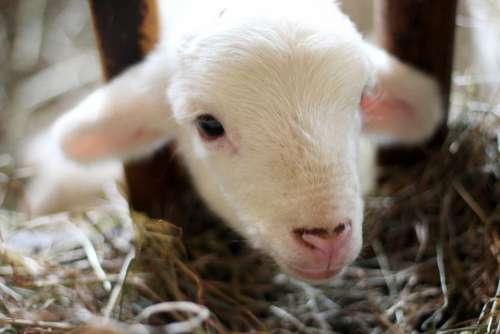 sheep lamb ram pet animal