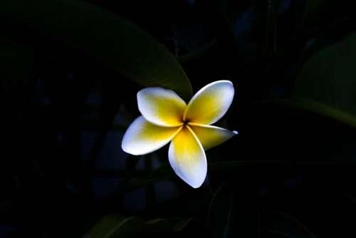 black dark flower white yellow