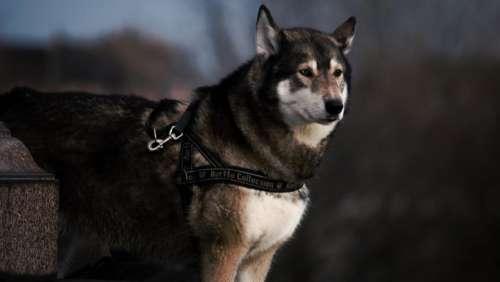 dog animal leash husky cute