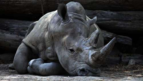 animals mammals rhinoceros rhino rest