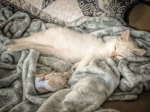 cat white sleep blanket bed