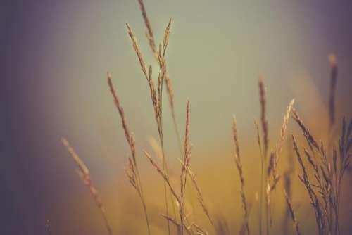 wheat plants nature farm agriculture