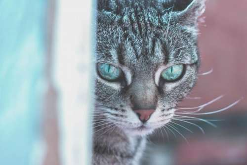 animals cats pets domesticated eyes