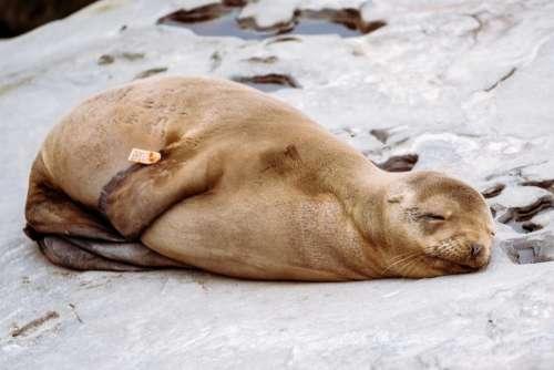 sea lion animal sleep rocks