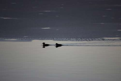 birds swimming winter ice water