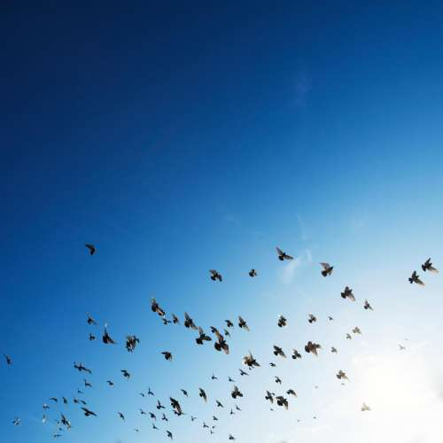 flock birds flying animals blue