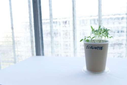 coriander herb plant pot kitchen