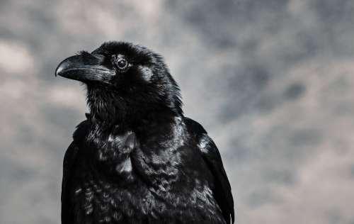 raven black bird blackbird beak
