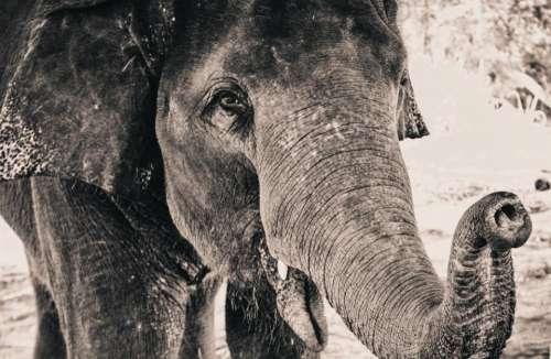 elephant animal zoo nature black and white