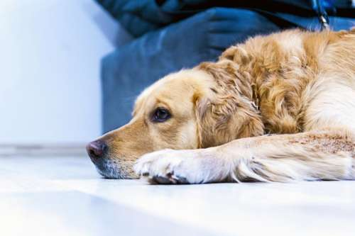 dog golden retriever pet animals sad