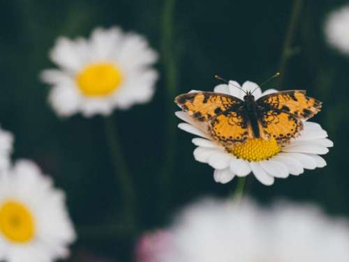 daisy daisies flowers butterfly nature