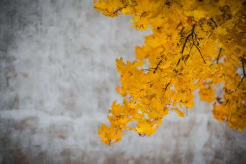 yellow leaves trees branches autumn