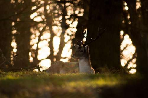 deer animal horn wildlife forest