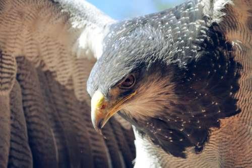eagle bird close up animals wildlife