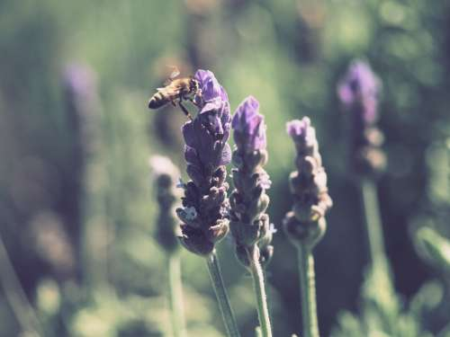 bumble bee lavender summer insect animal