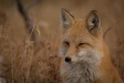fox animal mammal forest wildlife
