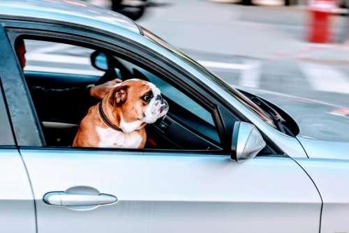 pug dog pet animal car