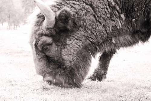 bison wild animal nature outdoors