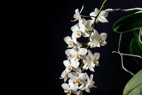 white petal dark flower orchids