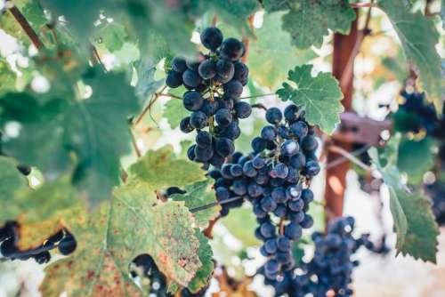 grapes fruit vines leaves plants